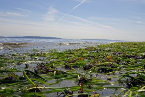 Eelgrass bed - D. Ayers (USGS)