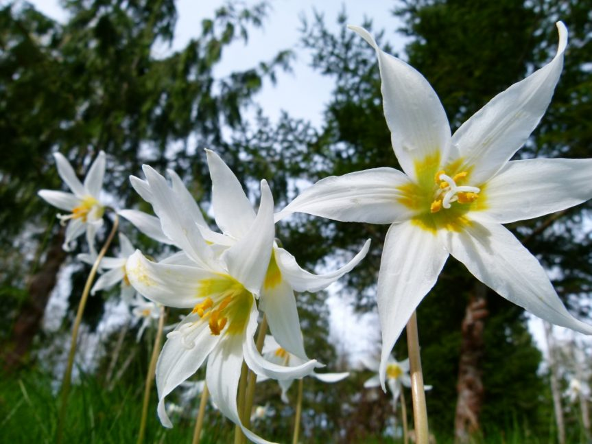 White Fawn lily (Erythronium montanum) - D. Bedry photo