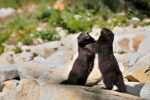 """Yearling Vancouver Island marmots """"play-fighting"""" on Mount Washington, 23 Sept 2013 - A. Bryant"""