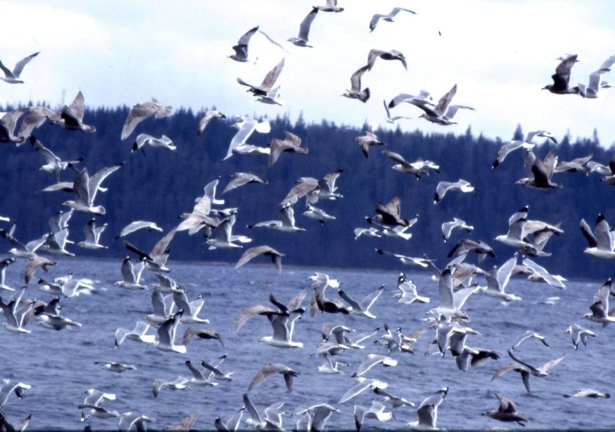 Rambling with Clyde Part II (seabirds)