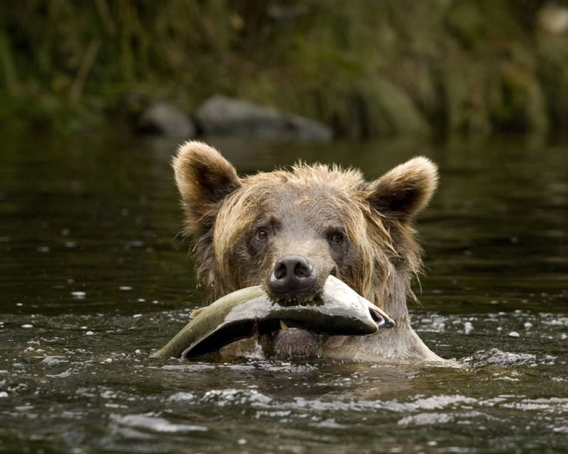 Coastal grizzly with salmon - J. Scarrow