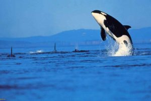 Orca breaching - T. Gallager