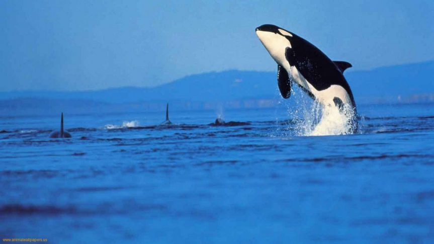 "Daniel Francis – ""Orcas"""