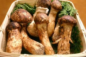 Pine mushrooms are unquestionably the single most important non-timber forest resource in BC