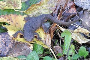 Rough-skinned newt (Taricha_granulosa) Wikipedia Commons