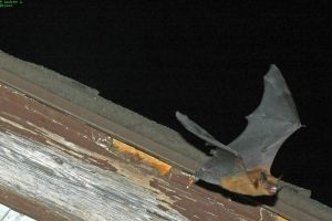 Myotis bat leaving roost - A. Bryant