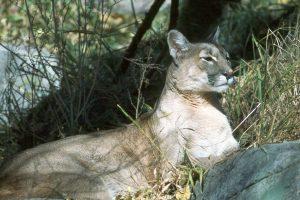 Cougar at Calgary Zoo, 1988- A. Bryant
