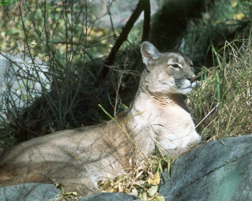 Cougar at Calgary Zoo, 1988- A. Bryant