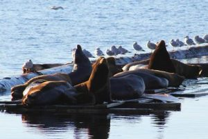 WHAT'S THE RACKET?: Sea lions gathering on the breakwater off the shore of Townsite have been attracting some residents and repelling others lately with their grunts, growls and barks. - Powell River Peak photo