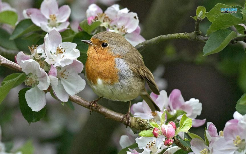 English Robin - D. Orkus