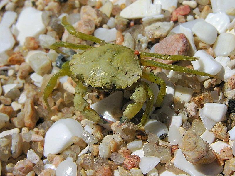 European green crab - Luis Miguel Bugallo Sánchez