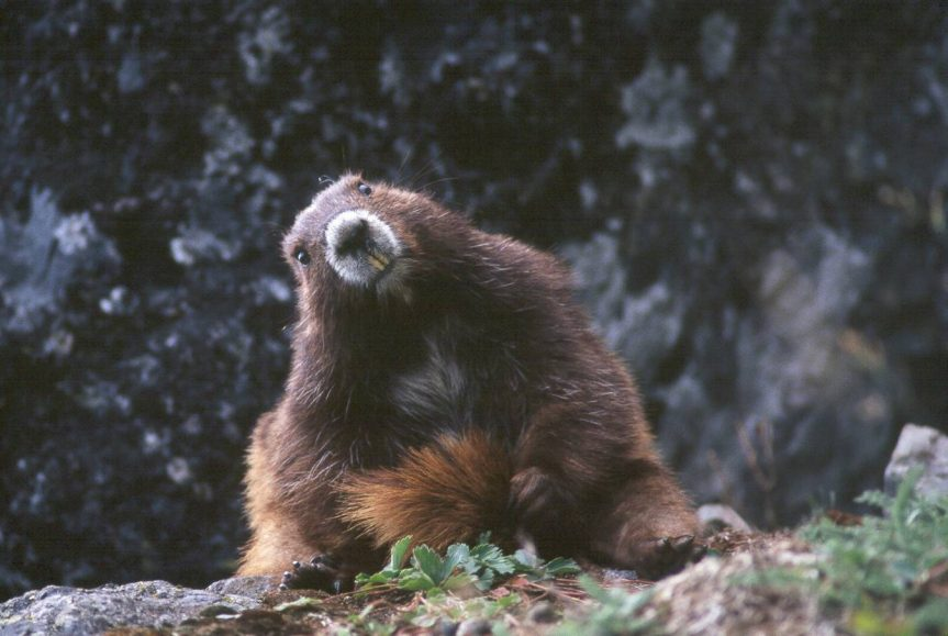"Andrew Bryant – ""Recovery of Vancouver Island marmots"""