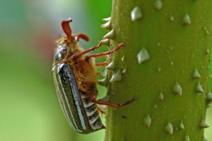 A ten-lined June bug (Polyphylla decemlineata) on Gunnera manicota - A. Bryant