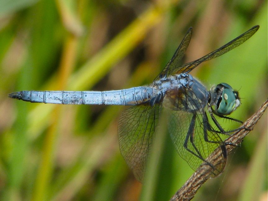 Blue dasher - T. Thormin photo