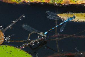 Tule bluets (Enallagma carunculatum) ovipositing - T. Thormin