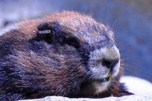 "Actually this is 7 year-old male Vancouver Island marmot tag #326-327. His name is ""Troy"". - A. Bryant"