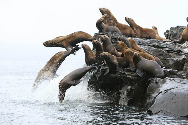 "Susan MacKay – ""Pinnipeds: Seals and Sea-lions"""