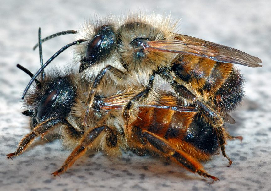 Osmia_rufa_couple_(aka)