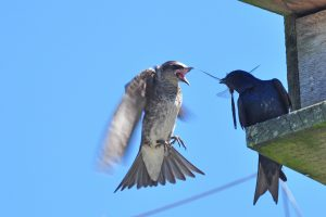 Purple martins fighting over a dragonfly - A. Bryant