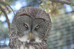 Great Gray owl at Calgary Zoo- A. Bryant
