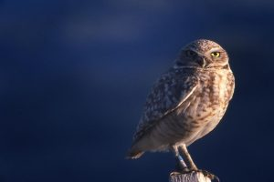 Burrowing owl at Osoyoos, 1989 - A. Bryant