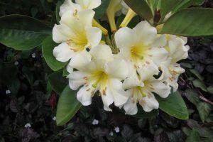 rhododendron_gardenia_odyssey