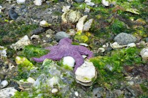 Pisaster ochraceus, one of many common local seashore critters - A. Bryant