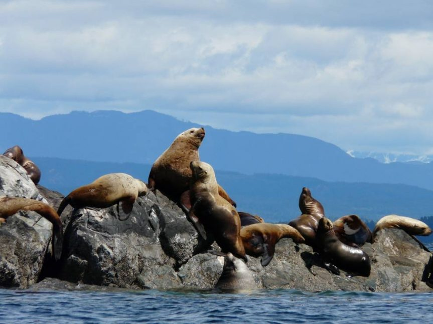 Stellers and California sea lions at Mitlenatch Island - H. Harbord