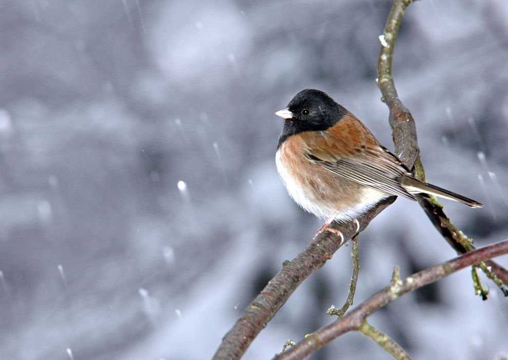 Cold junco in Nanaimo - A. Bryant