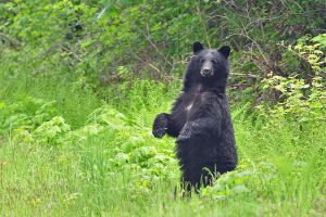 Curious black bear - A. Bryant photo