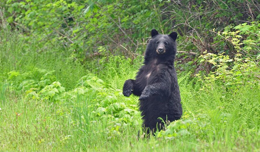 Curious black bear - A. Bryant photo