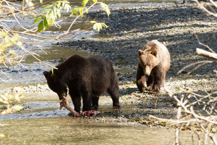 Orford River grizzlies