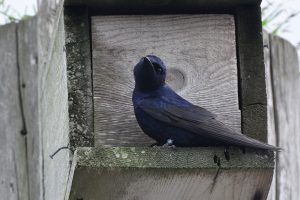 An adult male Purple Martin , Myrtle Rocks, Powell River - A. Bryant