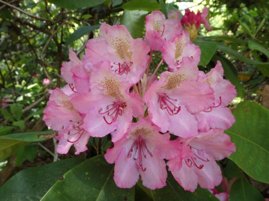 Rhododendron in David Smith's botanical garden, May 30 2017