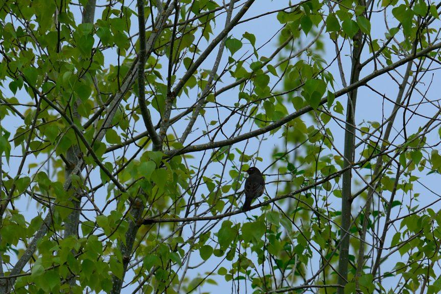 Birding by Ear – Part VIII