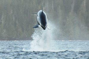 A Mother Hunting T140 in pursuit of a Pacific White-Sided Dolphin. Mammal-eating Killer Whales diverged from other populations ~700,000 years ago. ©Jackie Hildering; themarinedetective.ca