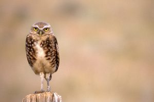 Juvenile Burrowing Owl at Osoyoos, 1989 - Andrew Bryant