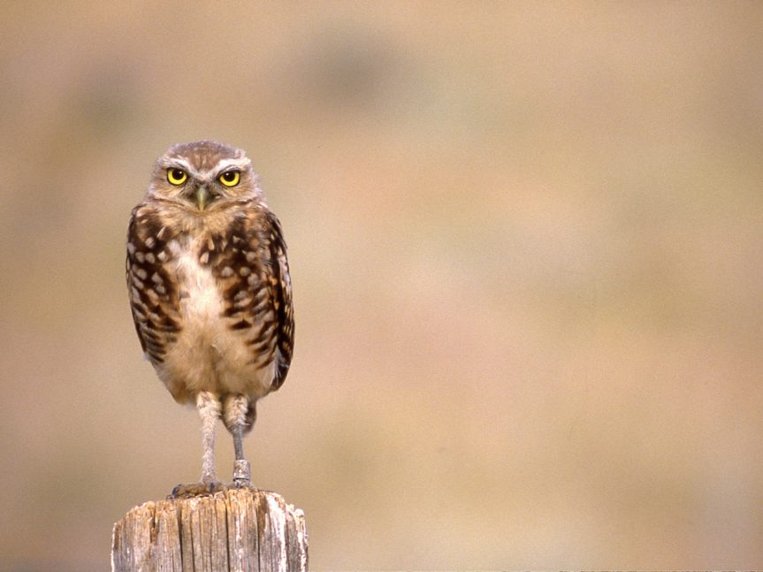 "Andrew Bryant – ""The operation was successful (sort of): reintroducing Burrowing Owls, 1989-90"""