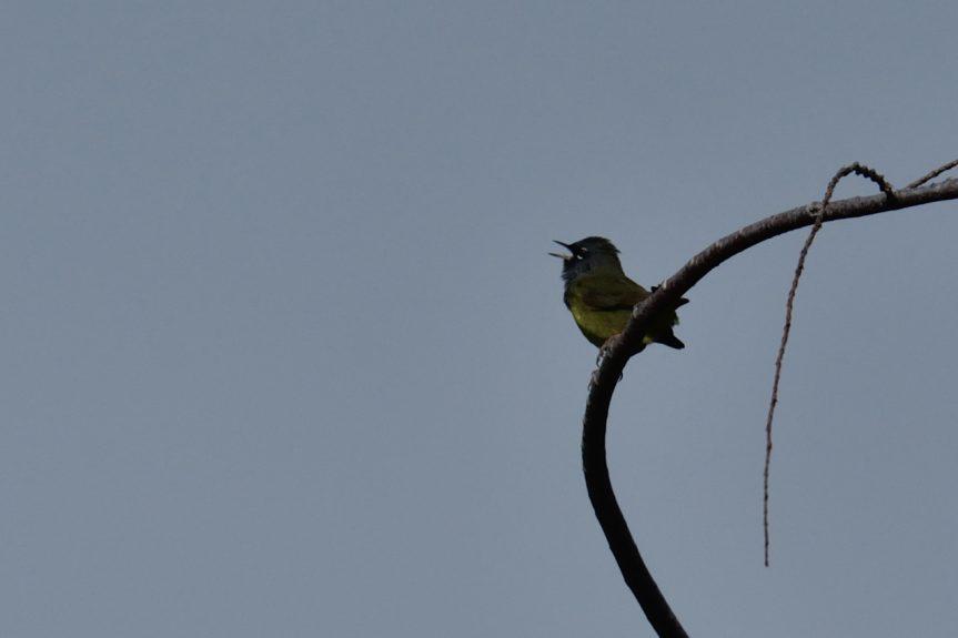 Birding by Ear Part IX